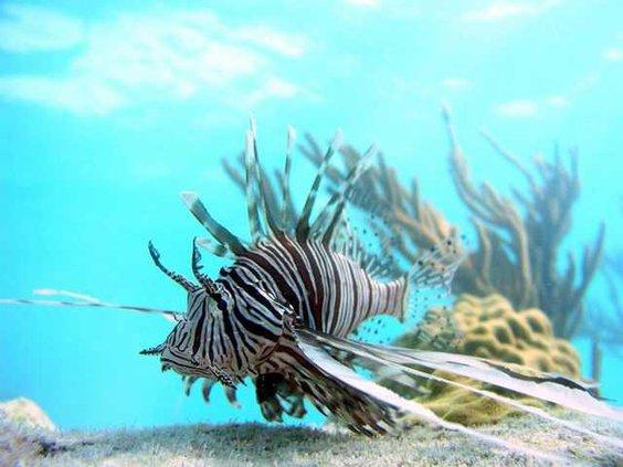Lionfish Invasion S 5817336